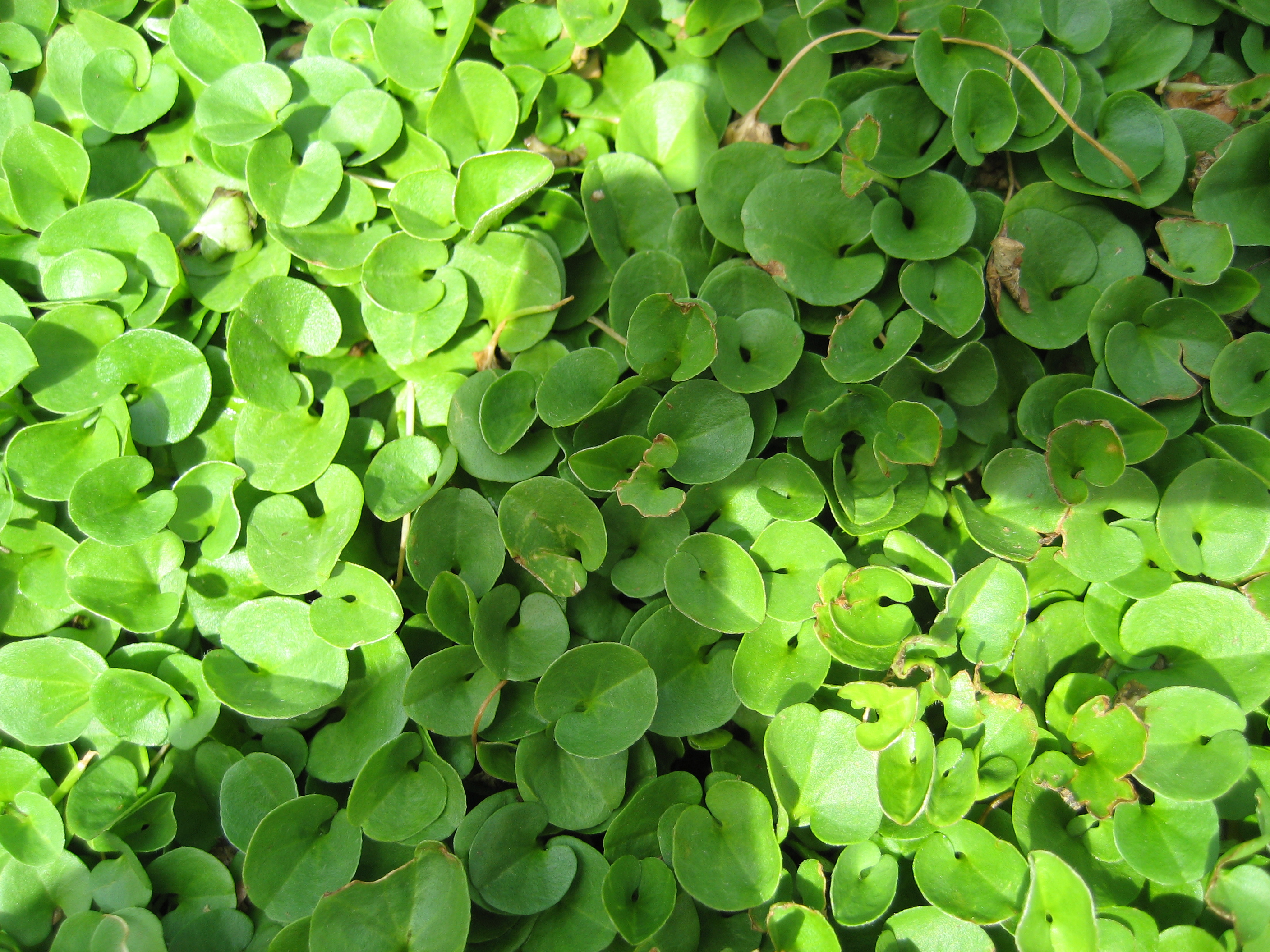 Dichondra - dicondra